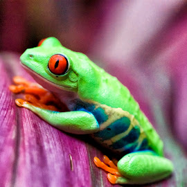 Red Eyed Frog by John Gore - Animals Amphibians