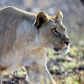 Lioness by Sandra Mcgowan - Animals Lions, Tigers & Big Cats ( on the hunt, kruger national park, lioness, south africa, hunter )