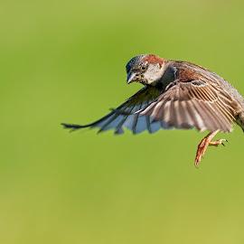 Sparrow by Carl Albro - Animals Birds ( bird, flying, new world sparrows, song sparrow )