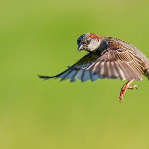 Sparrow 8204.jpg
