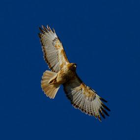 by D. Bruce Gammie - Animals Birds ( bird, flying, air, feathers, hawk )