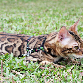 Hunting by Haslan Bendahara Abdul Hamid - Animals - Cats Kittens ( bendahara cattery, kitten, mr love, malaysia, bengal )