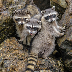 Three Cuties by Jerry Cahill - Animals Other Mammals ( mammals, striped tails, raccoons, bandit, raccoon,  )