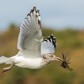 Gull with Crab Upward Wings by Carl Albro - Animals Birds ( bird, flying, gull, crab )