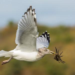 Gull with Crab Upward Wings.jpg