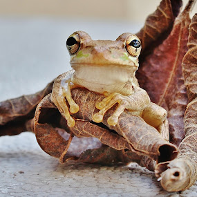 Peeper in leaf by Peg Elmore - Animals Amphibians ( sitting, tree frog, brown, leaf, baby )