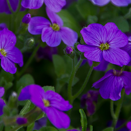 purple flowers by Elise Northfield - Nature Up Close Gardens & Produce ( purple, creeper, spread, flower, petal )