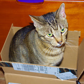 A Pickle in a Box by Kirk Barnes - Animals - Cats Portraits ( cat, indoors, box, feral tabby, portrait, pickle )