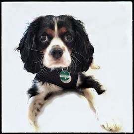 Cavalier King Charles Spaniel by Renata Garrison - Animals - Dogs Portraits