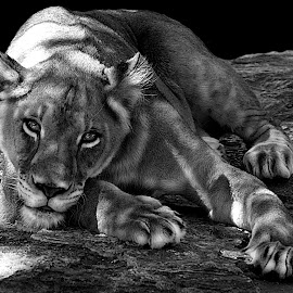 Frisky B&W by Shawn Thomas - Black & White Animals ( pride, predator, lion, cat, carnivore, mane, wildlife, king, large )