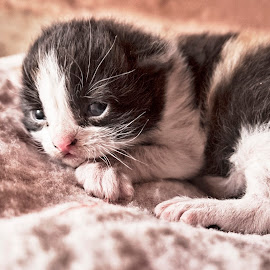 by Soufiane Hasnaoui - Animals - Cats Kittens ( cat, black and white, small cat, white, small, black cat )