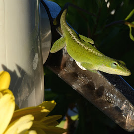 by Linda Brooks - Animals Reptiles ( reptiles, anole, green )