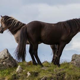As One! by Ingunn Sigurðardóttir - Animals Horses ( animals, iceland, horses, nature up close, together )