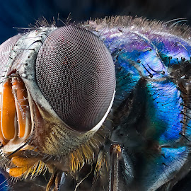 Blue Bottle Fly  by Jade Kennedy - Animals Insects & Spiders ( macro, fly, extrememacro, insect, closeup )