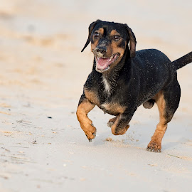 Happy Pinscher Dog by Amr Younis - Animals - Dogs Running ( playing, dogs, dubai, beach, running )