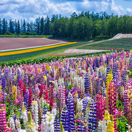 Flower Gardens Shikisai-no-oka  by Crispin Lee - Landscapes Prairies, Meadows & Fields