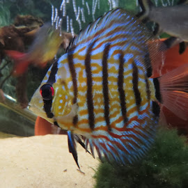Discus by Angie Keverne - Animals Fish ( discus, pet, fish, tropical, tank )
