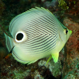 Four Eyed Butterflyfish by David Gilchrist - Animals Fish ( underwater, fish, butterflyfish, underwater photography, animal )