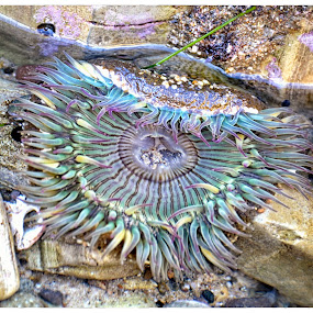Colors ! by Veronique Aubois-Mann - Animals Sea Creatures ( water, ca, details, textures, colors, state beach, malibu, anemone, sea, tide pool )