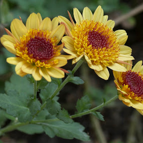 Three of a Kind by Thomas Vasas - Flowers Flower Gardens ( macro, nature, flower gardens, gardens, flowers )