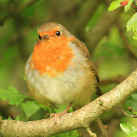 Little Robin  by Chris Mcgurgan - Novices Only Wildlife