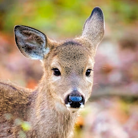 Late Fawn by Pat Eisenberger - Animals Other Mammals ( whitetail deer, nature, whitetail fawn, whitetail, wildlife, white tail deer, fawn, deer )