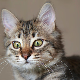 cross eyed KIKI by Brook Kornegay - Animals - Cats Portraits ( cross-eyed, cat, kitten,  )