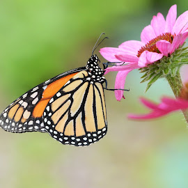 Butterfly on Pink Flower 2 by Kurt Bailey - Animals Insects & Spiders