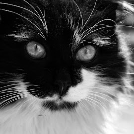 I see you by Miryana Buchkova - Animals - Cats Portraits ( macro, cat, black and white, portrait, animal, eyes,  )