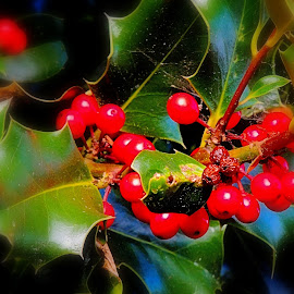 Holly Berries by Becky Luschei - Nature Up Close Trees & Bushes ( apparent, bushes, fall, holly berries, bright red )