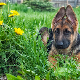 *** by Vladimir Gitkov - Animals - Dogs Puppies ( shepherd, puppy, summertime, dog, cute, german shepherd )