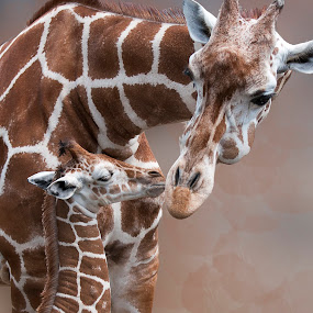 Kisses for Mother by Amy Winfield Quicke - Animals Other Mammals ( mother, giraffe, richmond metro zoo, places, baby, portrait, mammal, animal )