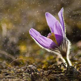 Raindrops by Jiri Cetkovsky - Flowers Single Flower ( grandis, raindrops, pulsatilla, dots, spring, koniklec )