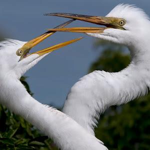 Great White Egret 011.jpg