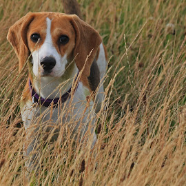 Baby Beagle by Steve Cornforth - Animals - Dogs Puppies