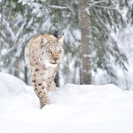 lynx in snow by Kristin Smestad - Animals Other ( cat, winter, snow, lynx, big, norway )