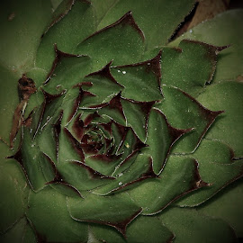 Succulant by Sarah Harding - Novices Only Flowers & Plants ( plant, nature, novices only, garden, flower )