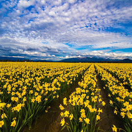 Daffodil Field by Judi Kubes - Landscapes Prairies, Meadows & Fields ( clouds, mountain, sky, daffodil, sunset, yellow, flowers, rows,  )