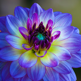 Dahlia by Carl Sieswono Purwanto - Nature Up Close Flowers - 2011-2013 (  )