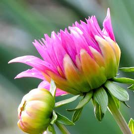by SANGEETA MENA  - Flowers Flower Buds