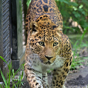 by Zaharescu Dragos - Animals Lions, Tigers & Big Cats