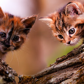 Up a Tree by Eugene Linzy - Animals - Cats Kittens ( torties, playing, cats, tree, kittens )