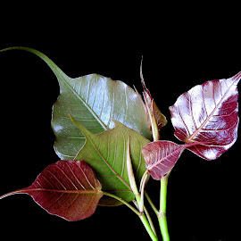New leaf  by Asif Bora - Nature Up Close Leaves & Grasses
