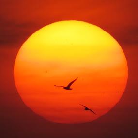 2 birds in the sun by Yahia  husain - Landscapes Sunsets & Sunrises ( bird, sunset, sunsets, beautiful, yellow, stunning, birds )