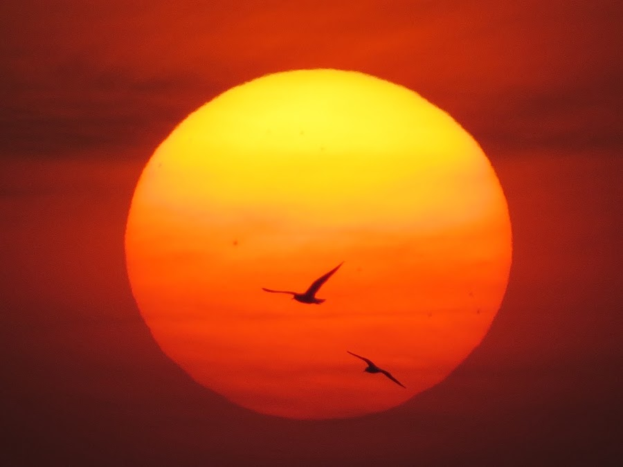 2 birds in the sun by Yahia  husain - Landscapes Sunsets & Sunrises ( bird, sunset, sunsets, beautiful, yellow, stunning, birds )