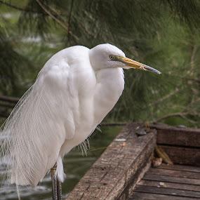 Breeding Plumage by Trevor Smart - Animals Birds ( bird, intermediate egret, breeding plumage, male, northern territory, egret,  )