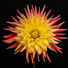 Fadded yellow & pink Dahlia by Jim Downey - Flowers Single Flower ( pink, dahlia, yellow, black, petals )