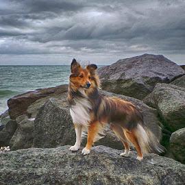 Sheltie on the rocks by Fiona Etkin - Animals - Dogs Portraits ( water, stormy, nature, sea, windswept, dog, rocks, sheltie, coast )