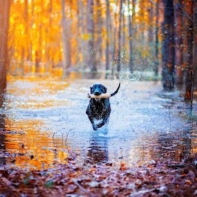 Good Dog!  by Sabrina Causey - Animals - Dogs Running ( nature, hunting dog, trained, dog, running, mammal, portrait, animal,  )