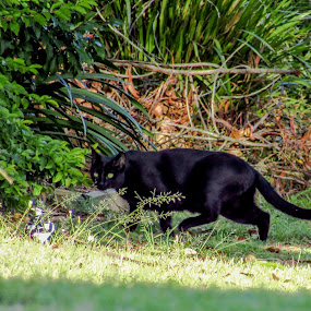 Suburban hunter by Mark Luyt - Animals - Cats Playing ( suburbs, black cat, cat, bird, hunter )